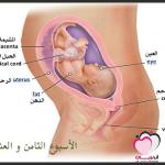 الأسبوع الثامن والعشرون من الحمل