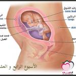 الأسبوع الرابع والعشرون من الحمل